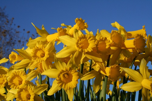 spring yellow daffodils and blue sky