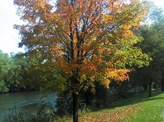 autumn tree with yellow and orange leaves in Pennsylvania fall