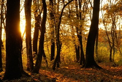 forest in autumn with yellow leaves on the ground and clinging to the tree brances as the sun shines through