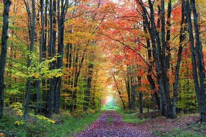Kinzua State Park in Pennsylvania in the fall on a trail with red, green, and gold leaves