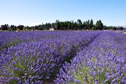 lavendar fields in PA